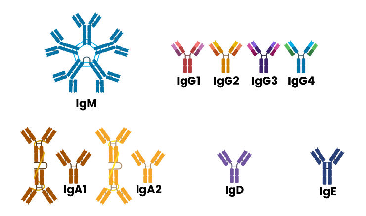 Image of Antibody Isotypes and Subtypes